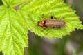 Soldier beetles Stock Images