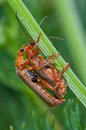 SOLDIER BEETLES Stock Photography