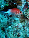 Soldier Fish Seychelles Stock Images