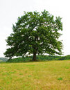 Sole oak Royalty Free Stock Photos