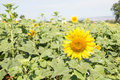 Solitary flower outstanding in a sunflower field. Royalty Free Stock Photo