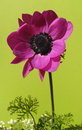 Solitary french anemone isolated on green Royalty Free Stock Photo