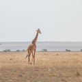 Solitary giraffe in Amboseli national park, Kenya. Royalty Free Stock Photo