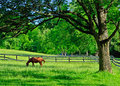 A solitary horse grazing in a rural farm pasture under the spreading branches of large tree the early morning hours at maryland Stock Photos