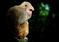 Solitary monkey Royalty Free Stock Image