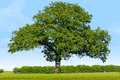 Solitary oak in a grass field on a sunny blue sky day Royalty Free Stock Photography