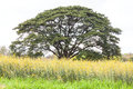 Solitary oak tree in a field outside Royalty Free Stock Photo