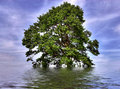 Solitary oak tree flooded Stock Photo