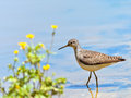 Solitary sandpiper tringa solitaria wading in a pond Stock Photos