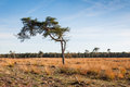 Solitary Scots Pine in autumn Stock Photos