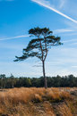 Solitary Scots Pine in autumn Stock Images