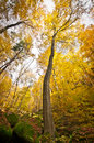 Solitary tree in autumnal forest with mossy stones front of yellow Stock Photo