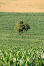 Solitary Tree in the maize Field Stock Photo