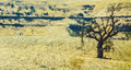 Solitary tree in parched summer landscape a scorching hot weather california usa Royalty Free Stock Photos