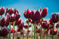 Solitary tulip among many selective focus on one red Royalty Free Stock Images