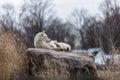 Solitary white wolf in toronto zoo Royalty Free Stock Photos