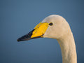 Solitary wild swan against background of a blue lake Stock Photo