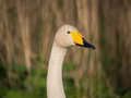 Solitary wild swan against background of reed Royalty Free Stock Images