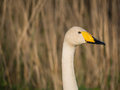 Solitary wild swan against background of reed Royalty Free Stock Photos