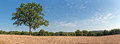 Solitude green tree in wheat field with blue cloudy sky. Panoram Royalty Free Stock Photo
