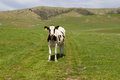 A single cow out standing in a green grassy field with mountains in the background Royalty Free Stock Photo
