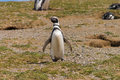 Solo penguin isla magdalena near punta arenas Royalty Free Stock Photography