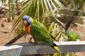 A Solomon Island Eclectus Parrots ( Eclectus roratus solomonensis) Royalty Free Stock Photo