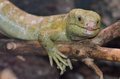 Solomon island prehensile tailed skink a on a branch Royalty Free Stock Photography