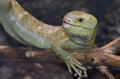 Solomon island prehensile tailed skink a on a branch Stock Photography