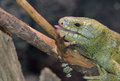 Solomon island prehensile tailed skink a on a branch with his mouth open Stock Photos