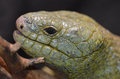 Solomon island prehensile tailed skink a on a branch with his mouth open Stock Images