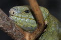 Solomon island prehensile tailed skink a close up of a on a branch Royalty Free Stock Photography