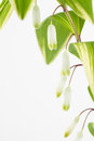 Solomon s seal leaves and flowers close up of variegated stem white green with a white background Stock Photography