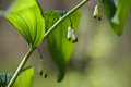 Solomon s seal the wild blossoming in a forest Royalty Free Stock Photography