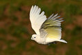 Solomons cockatoo, Cacatua ducorpsii, flying white exotic parrot, bird in the nature habitat, action scene from wild, Australia. B Royalty Free Stock Photo