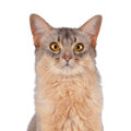 Somali  cat head portrait isolated on white Royalty Free Stock Photos