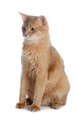 Somali cat isolated on white background Royalty Free Stock Photo
