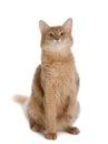 Somali cat isolated on white background Royalty Free Stock Photo
