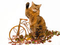 Somali cat waving, on mini brown bicycle Royalty Free Stock Photo