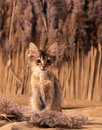Somali kitten Royalty Free Stock Photo