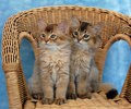 Somali kittens on a wicker chair Stock Photo