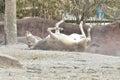 Somali wild ass dust bath Royalty Free Stock Photo