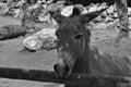 Somali wild ass endangered animal Royalty Free Stock Photo