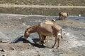 Somali wild ass equus africanus somalicus eating salt taken bottom crater lake Stock Images