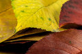 Some autumnal leaves Royalty Free Stock Photos