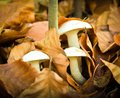 Some beautiful white mushrooms in the autumn forest nature Royalty Free Stock Photo