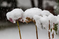 Some dried blossom with a hat of snow Royalty Free Stock Photo