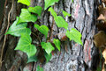 Some green ivy on a tree trunk selective focus the leaves Stock Images