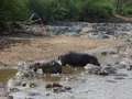 Some hippos waterside at a sandy bank in tanzania africa Stock Photos