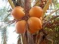 orange king coconut fruits at the tree Royalty Free Stock Photo